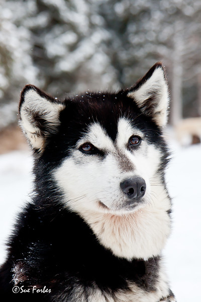 Alaskan Husky<br /> Maun, a lead Alaskan Husky sled dog in the Boundary Waters, Minnesota