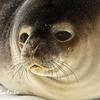 Weddell Seal, Antarctica<br /> Weddell Seal at Cape Royds, Ross Island, Antarctic
