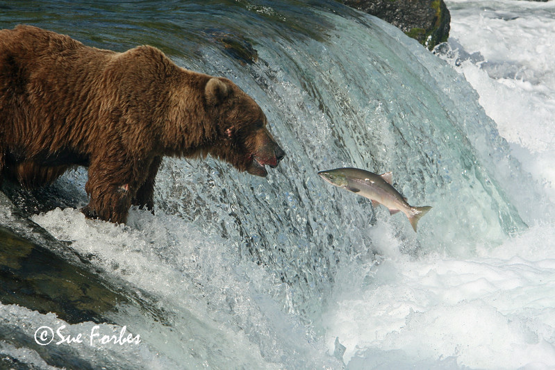 Grizzly Bear Fishing<br /> Grizzly bear about to catch his dinner.  Brooks River, Katmai, Alaska
