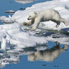 Leaping Polar Bear cub<br /> Polar Bear (ursus maritimus), cub jumping across the pack ice, Olga Strait, Svalbard, Norway