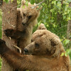 Mom, HELP!<br /> Grizzly bear mom rescuing its cub after a male grizzly bear chased it up a tree, Katmai, Alaska