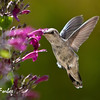 Feeding time<br /> Anna's Hummingbird feeding on a border penstemon