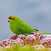 Red Crowned Parakeet<br /> Red Crowned Parakeet sitting on the flowers of the megaherb Anisotome Latifolia  Enderby Island