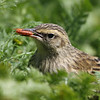 New Zealand Pipit<br /> New Zealand Pipit with an Amphipod, New Zealand's subantarctic Campbell Island