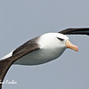 Beady eye<br /> Campbell Albatross near New Zealand's sub-antarctic Campbell Island