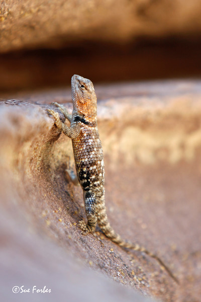 Desert Spiny Lizard<br /> Desert Spiny Lizard at Deer Creek, mile 136 of Colorado River through the Grand Canyon