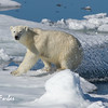 I made it across the gap!<br /> Female Polar Bear (ursus maritimus), on the pack ice, Olga Strait, Svalbard, Norway