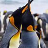 King Penguins<br /> King Penguins courting on Australia's sub-antarctic Macquarie Island