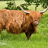 Highland Cattle by Loch Lomond, Scotland