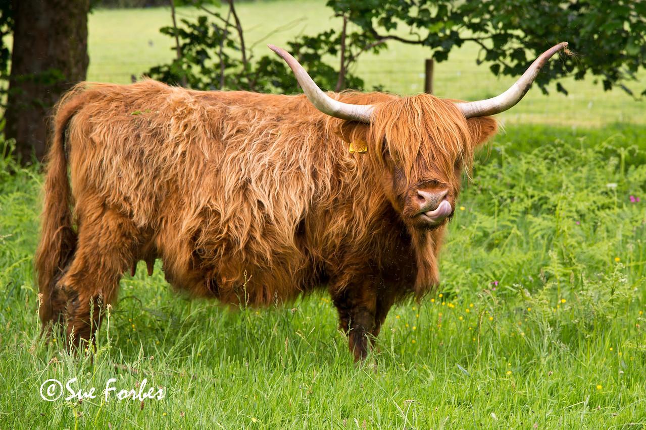 Highland Cattle by Loch Lomond, Scotland