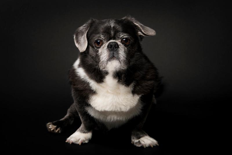 pug-portrait-milwaukee