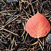 Little red aspen leaf that fell during our first flurry storm of the season.