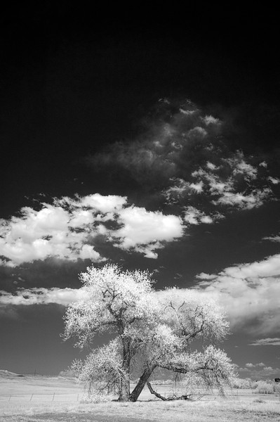 Blooming Cottonwood - In infrared.