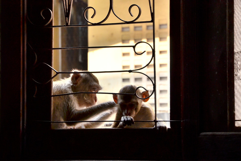 Monkeys hanging outside our bedroom window.