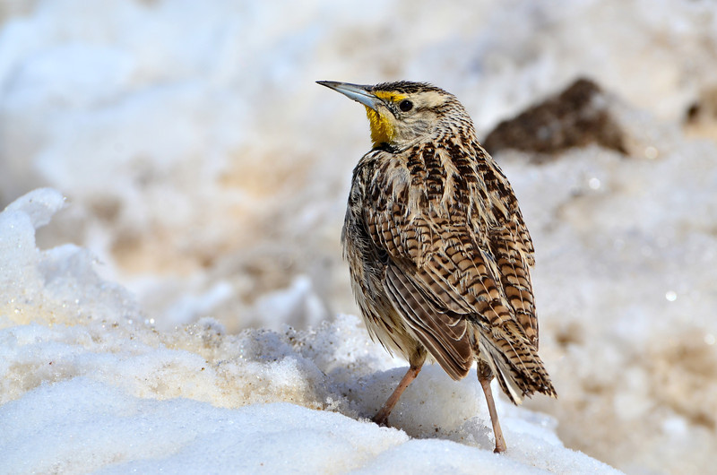 Maybe it's just because it's spring and all the birds are out, but today's photo is yet ANOTHER colorado bird that gave me the perfect photo opportunity.  This is a Western Meadowlark - Their song is synonymous with spring time in this area, and after the last 3 days of snow, this one landed but 4 feet away from me and stood there and posed for at least 5 minutes.  What a perfect day.  I love spring time :)