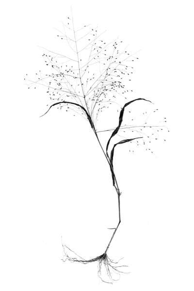 From roots to seeds. (B&W Version)