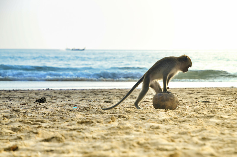 Monkey and a Coconut