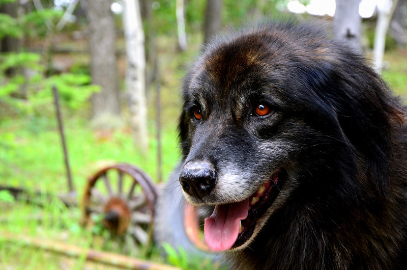 Wolfy - While at work today this old dog randomly came out of the woods and hung out at the job site all day.  The old mine we are working at is in the middle of nowhere so I don't know where he came from. He litterally had the body of a wolf, huge, sleek and lean, but friendly as can be!  He even hopped in our truck expecting to get a ride.  I wish I could have taken him home, but I know it probably belongs to someone out there in the sticks. Plus he looks plenty happy where he is now, romping through the woods.