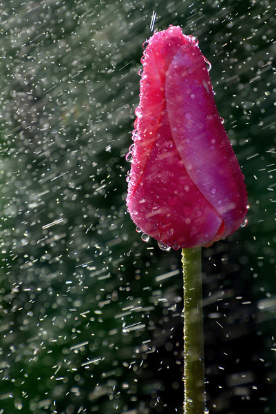 Tulip and the Sprinkler