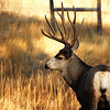 Mule Deer Buck at Hall Ranch