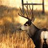 Mule Deer Buck at Hall Ranch