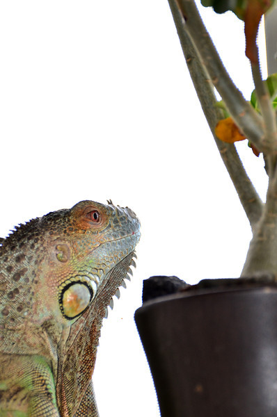 A Lizard and his Bonsai