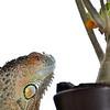 A Lizard and his Bonsai