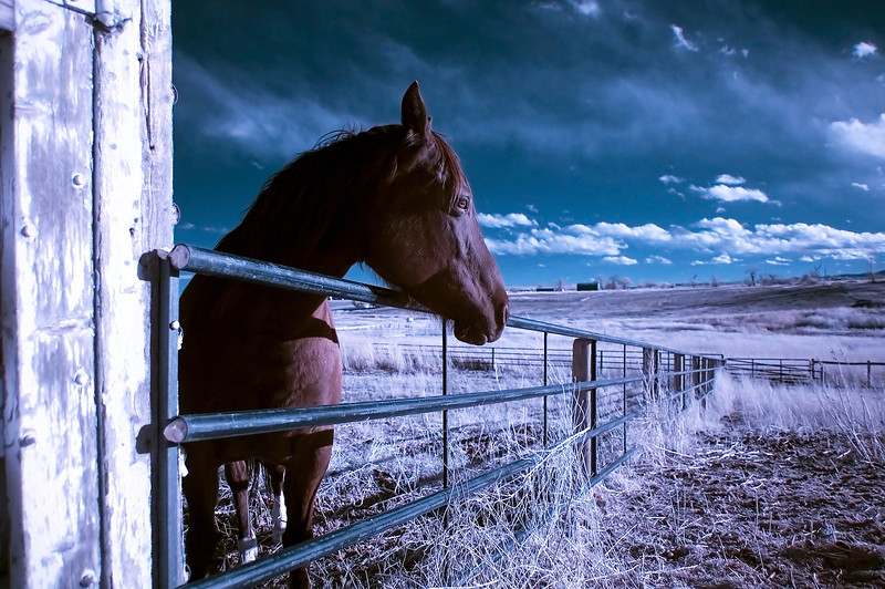 False color Infrared photo of a horse. - This is an old photo - but to keep the trend of the Infrared Photography, I thought I should post again!