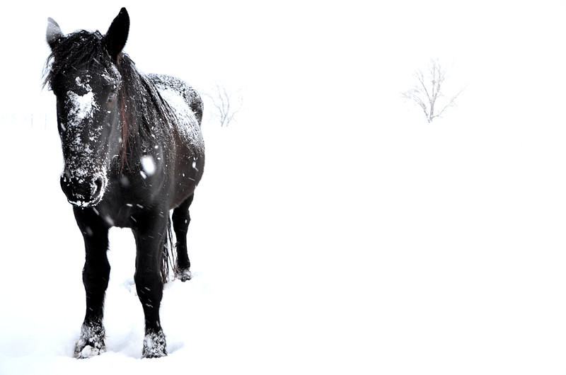 I couldn't tell which photo I liked better, so I'm posting 2 shots from today of a few black horses I found in a snowy field.  It was snowing pretty hard when I got out there so I exposed my shot for the horse, leaving a beautiful snowy high key background.