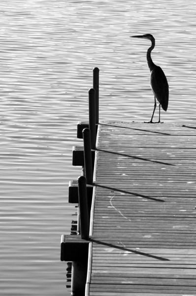 I've been in a black and white mood lately.  Saw this blue heron on the dock yesterday morning.