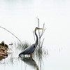 Great Blue Heron - These birds don't usually let you get that close to them but this one probably let me within 20 feet or so before it startled and flew off.  It was another overcast day here in CO which made for the perfect bright white reflection on the lake and even lighting on the Heron.  I'm not too fond of the tree growing behind the bird and through the beak, had I moved another foot to my right I could have got almost this same shot with that tree a little better well positioned.  I'll start paying attention to the background more.