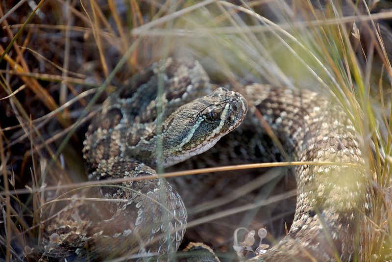 This is an older photo from last summer.  This is a rattle snake I saw one morning at work.  He was FIRED up, and took a few snaps at me as I snapped back with my camera.  These are the kind of days that make me love my job even more.