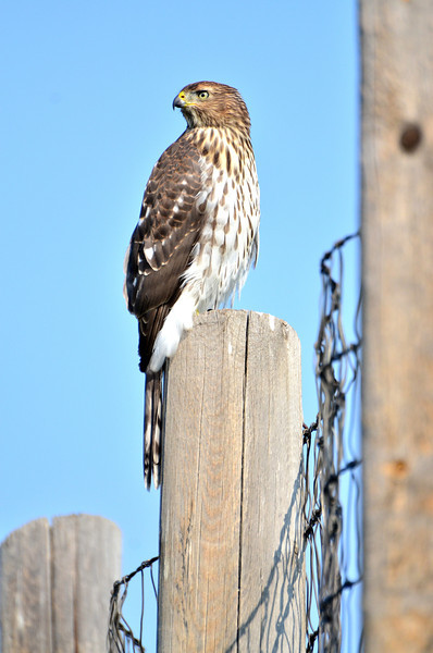 Caught him/her in the act of plotting a raid in the chicken coop at the ranch I'm working at.<br /> <br /> (Best when viewed in 3X!!)