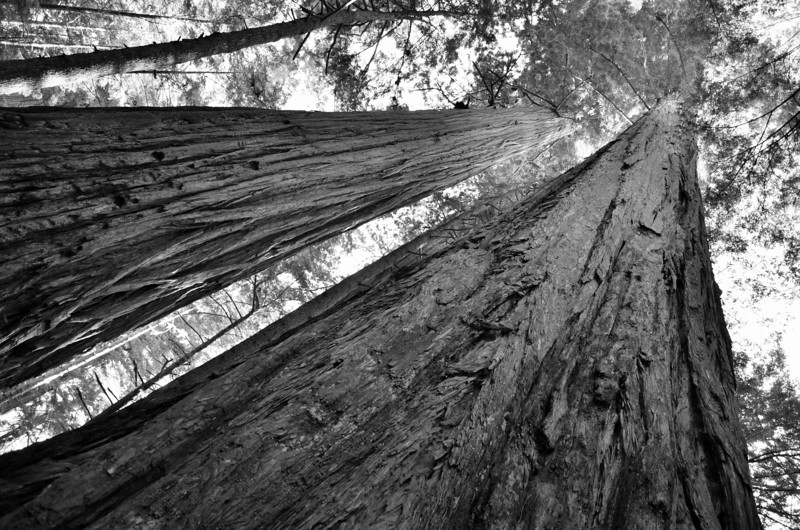 Redwoods B&W