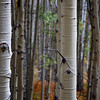 Stand of Aspens in South Western, Colorado