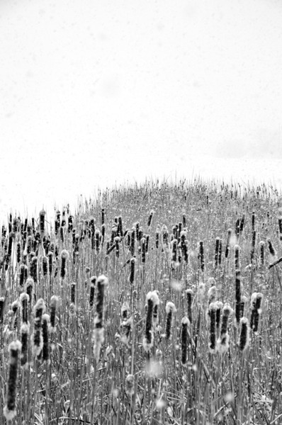 Cat tails on a snowy day at Walden Ponds, Boulder County, CO