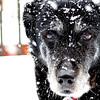 an old snowy dog