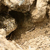 Just a big fat toad hiding in his burrow.