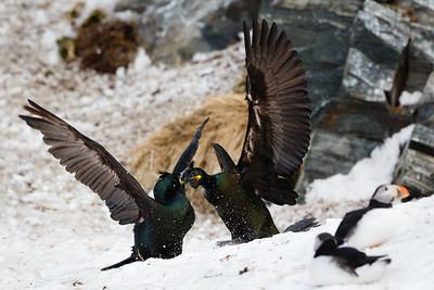 European shag or common shag (Phalacrocorax aristotelis). Fighting birds. Hornøya bird cliff, Finnmark, Norway.