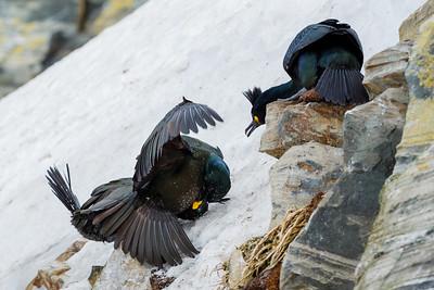 European shag or common shag (Phalacrocorax aristotelis). Fighting birds. Hornøya bird cliff, Finnmark, Norway. March