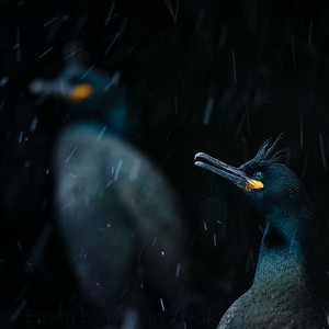 European shag or common shag (Phalacrocorax aristotelis) in snow agains dark background. Hornøya birdcliff, Vardø, Norway. March