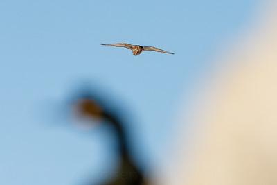 Gyrfalcon (Falco rusticolus) searching for prey along a birdcliff.