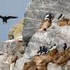 Raven (Corvus corax) searching for food in a seabird colony with common guillemot (Uria aalge)