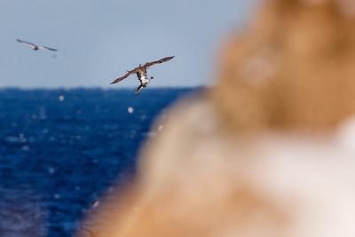 Gyrfalcon (Falco rusticolus) with prey (guillemot)