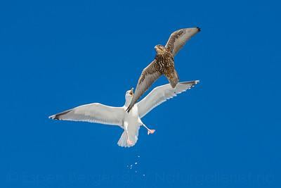 Gyrfalcon (Falco rusticolus) and Herring gull (Larus argentatus)