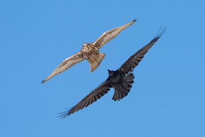 Gyrfalcon (Falco rusticolus) and Raven (Corvus corax)