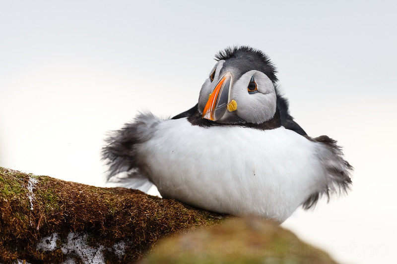 Atlantic puffin (Fratercula arctica)