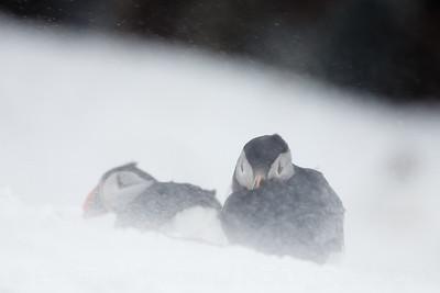 Atlantic puffin (Fratercula arctica)