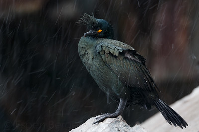 European shag or common shag (Phalacrocorax aristotelis).
