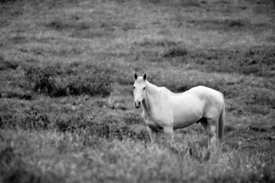 White Horse, Black and White